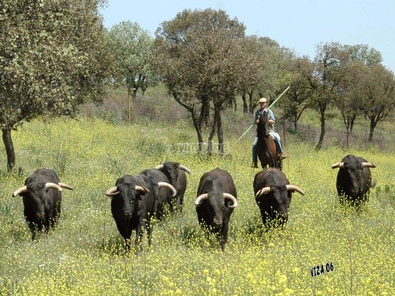 我们的牛。