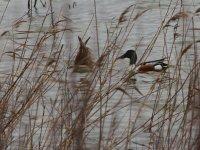 Los patos en una laguna de Salinas