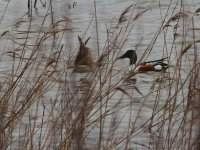 Ducks in a lagoon of Salinas