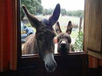 Los burros de nuestra granja