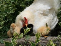 母鸡与小鸡