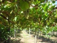 Grape cultivation