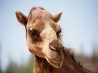 Disfruta de los camellos