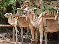 Paseos en Camello
