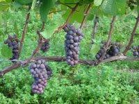Racimos de uvas en la vid