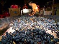 seleccion de la uva