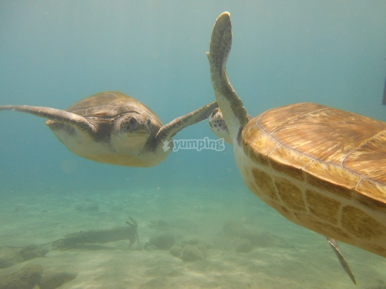 tortoises in the sea