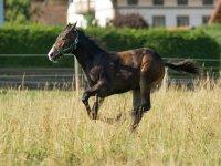 美丽的标本棕色黑马跳草甸