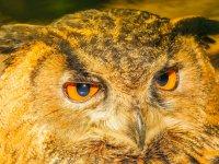 森林布鲁内特猫头鹰橙色的眼睛