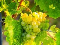 康乐村绿色拖拉机葡萄