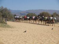 导游骆驼沙漠大加那利骆驼野生动物园的标志