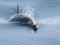 Delfín frente Getaria
