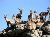Cabras en grupo