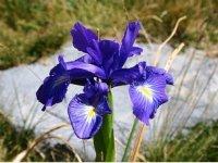 Lirio-iris