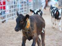 我们的小母牛