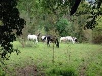 Horses in semi-freedom