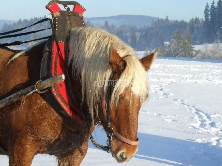 Equestrian sled