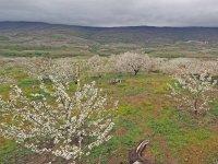 Cerezo en flor en Monfragüe