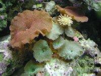 Coral marino