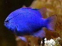 Pez azul
