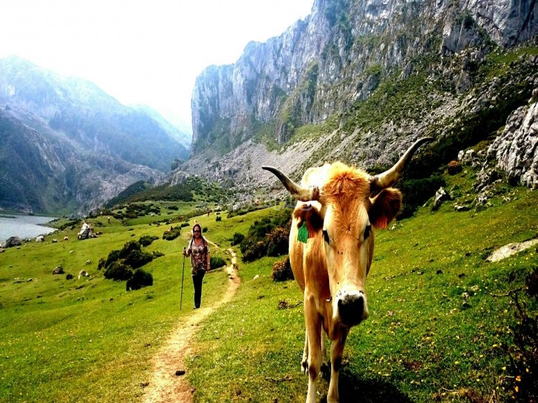 vaca en la ruta