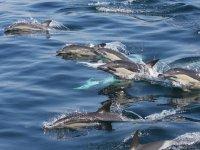 Decenas de delfines