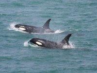Orcas en Barbate