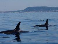 Orcas en grupo