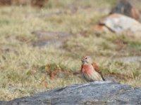 成年男性Tarabilla红雀在内华达山区