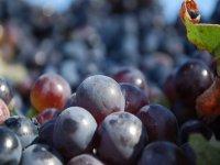 来自该地区的葡萄