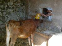 Ayudando a alimentar al ganado