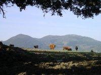 蒙大拿奶牛和奶牛