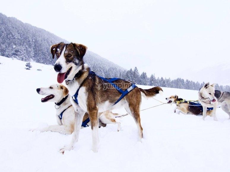 Nuestros huskies listos para tirar del trineo
