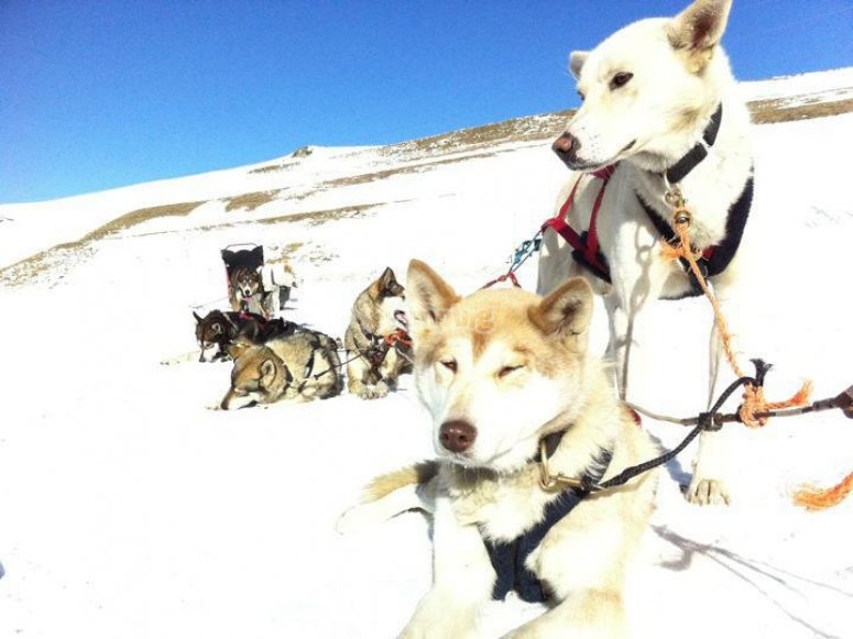 Snow dogs for the route