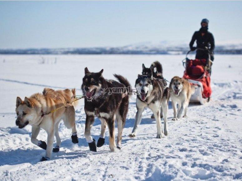 Disfruta de la nieve en trineo de perros