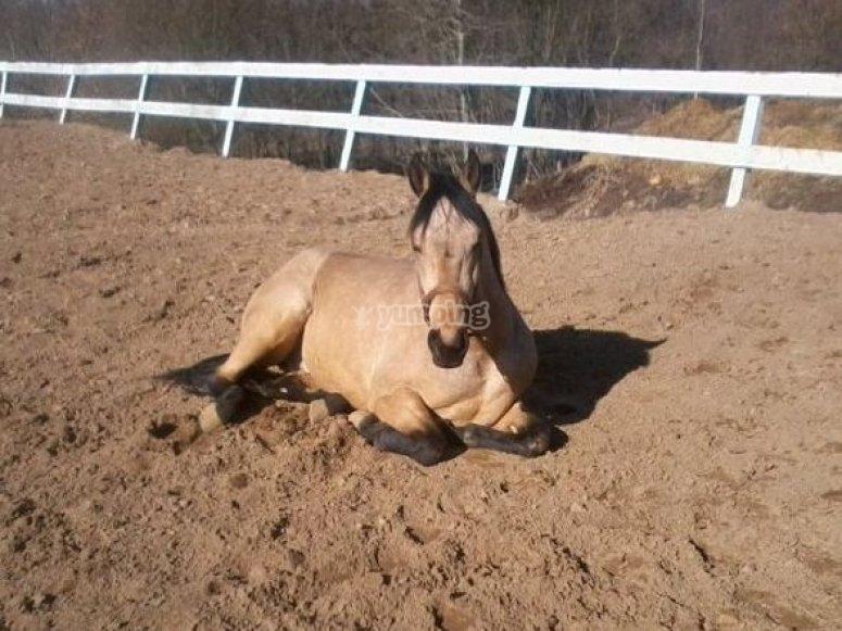 Horse resting