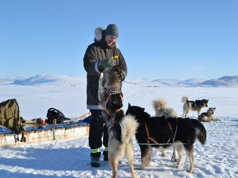 雪橇犬在雪地里玩