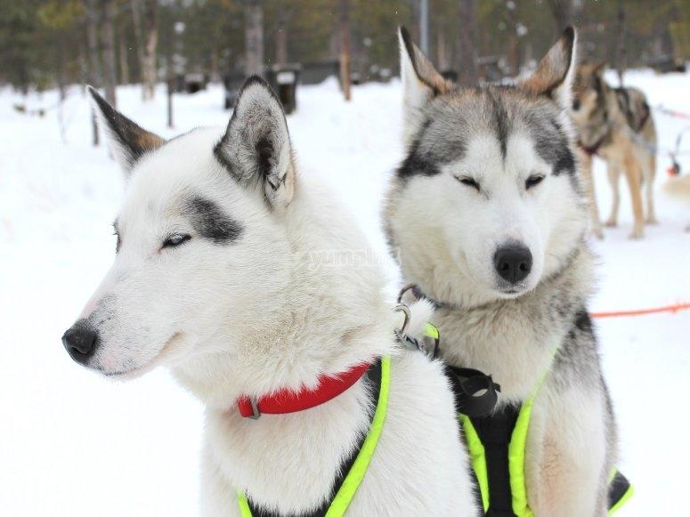 最好雪橇比赛中的同伴