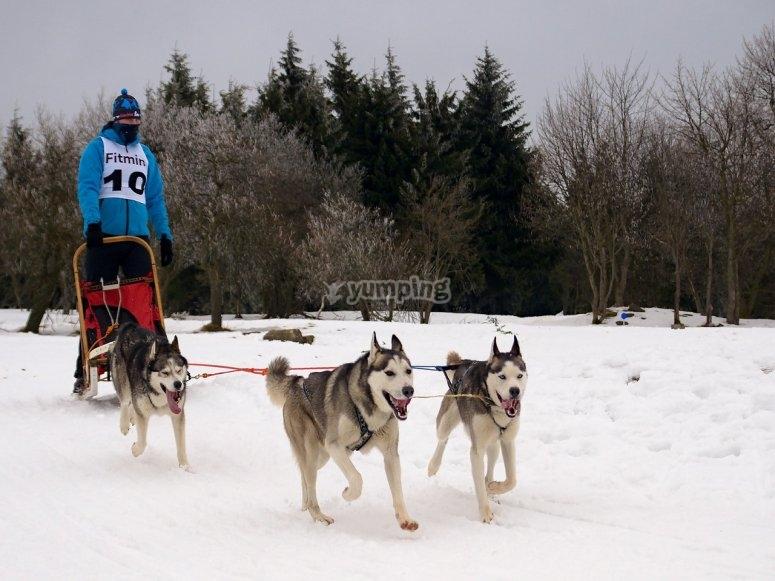 雪狗的雪橇体验