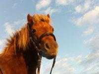 pony in primo piano marrone