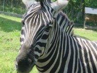 volto di una zebra