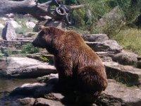 orso accanto all'acqua