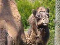camello en un parque