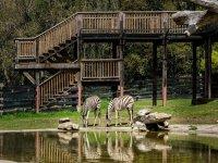 dos cebras bebiendo agua