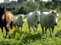 four horses in the field