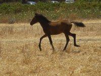 black horse trotting