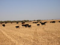 The cattle grazing