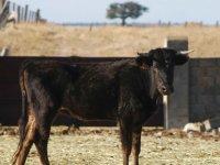 小母牛在农场