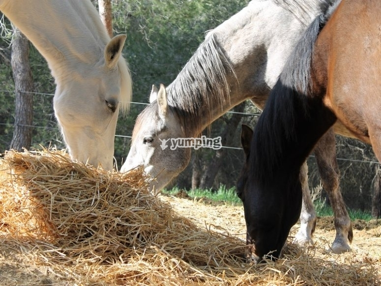 Horses eating haystack in the horse riding centre