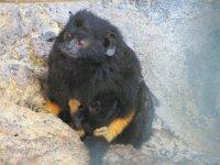 mono titi de manos rubias